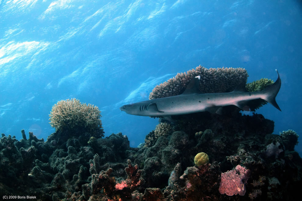 Baby White Tip Reef Shark cruising over the Great Barrier Reef