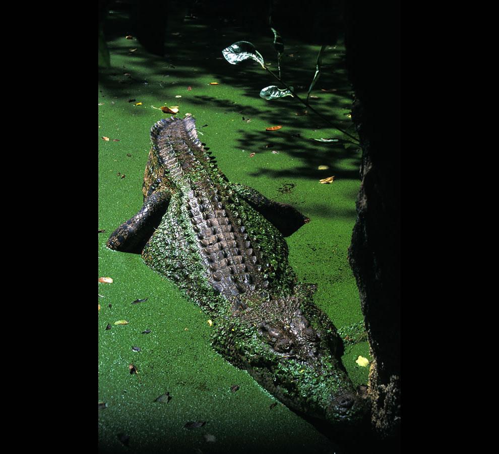 Basking Croc on Green Island, Great Barrier Reef, Australia