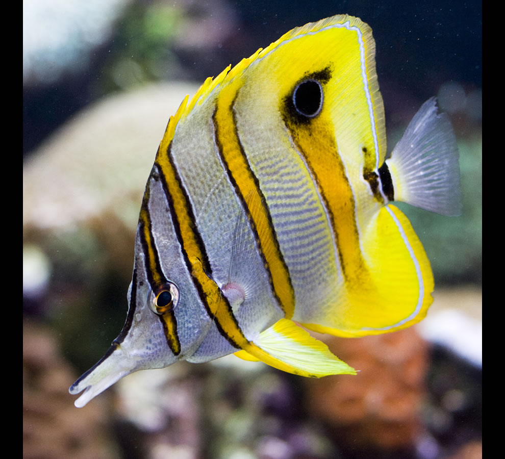 Copperband Butterflyfish Reef HQ - Townsville, Queensland, Australia