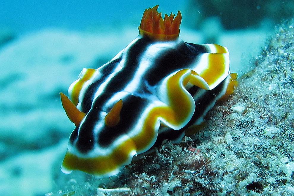 Elisabeths Chromodoris at Great Barrier Reef