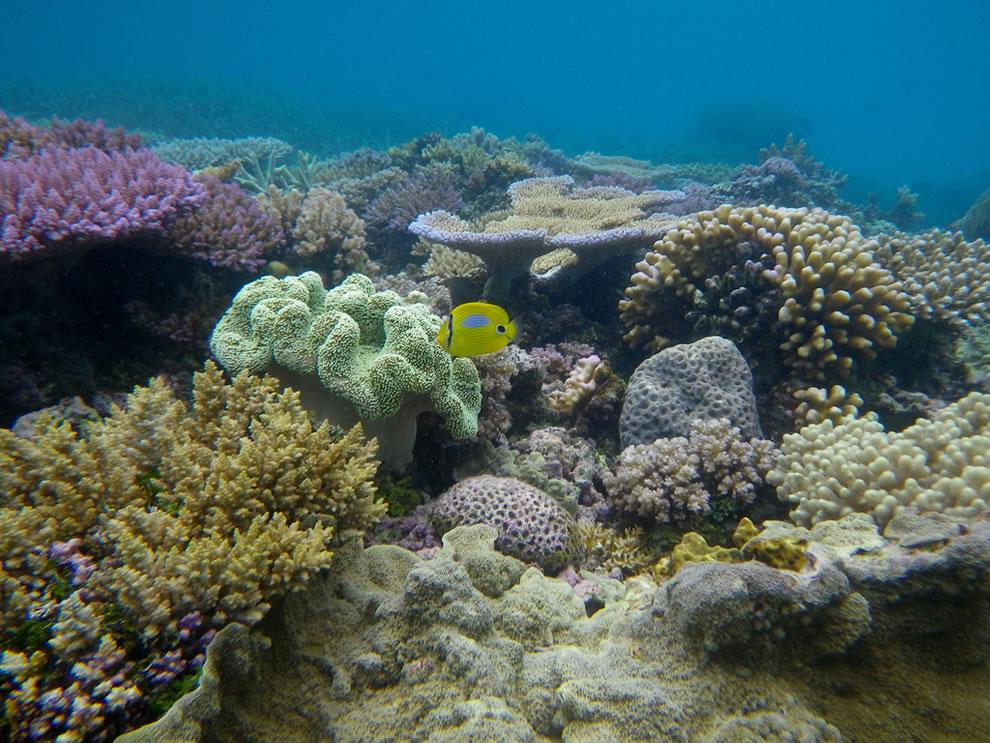 Great Barrier Reef - Chaetodon plebeius Cuvier,  Blueblotch butterflyfish