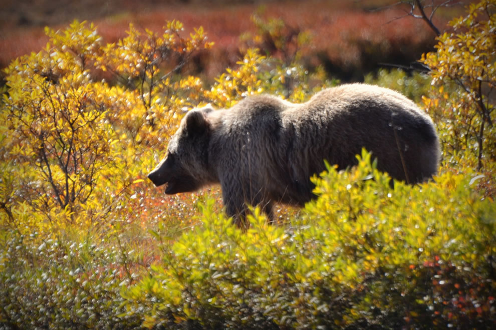 Grizzly Bear in Denali National Park, Alaska autumn