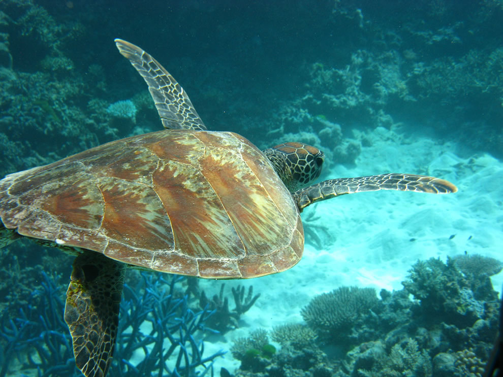 Scuba Diving with turtle at the Great Barrier Reef