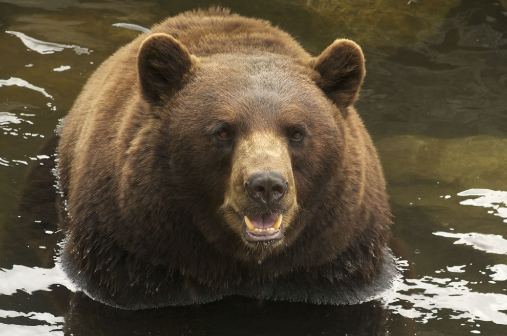 Cinnamon Black bear