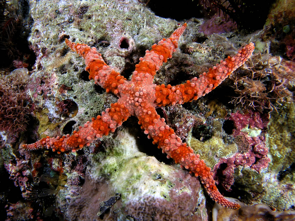 Large red starfish
