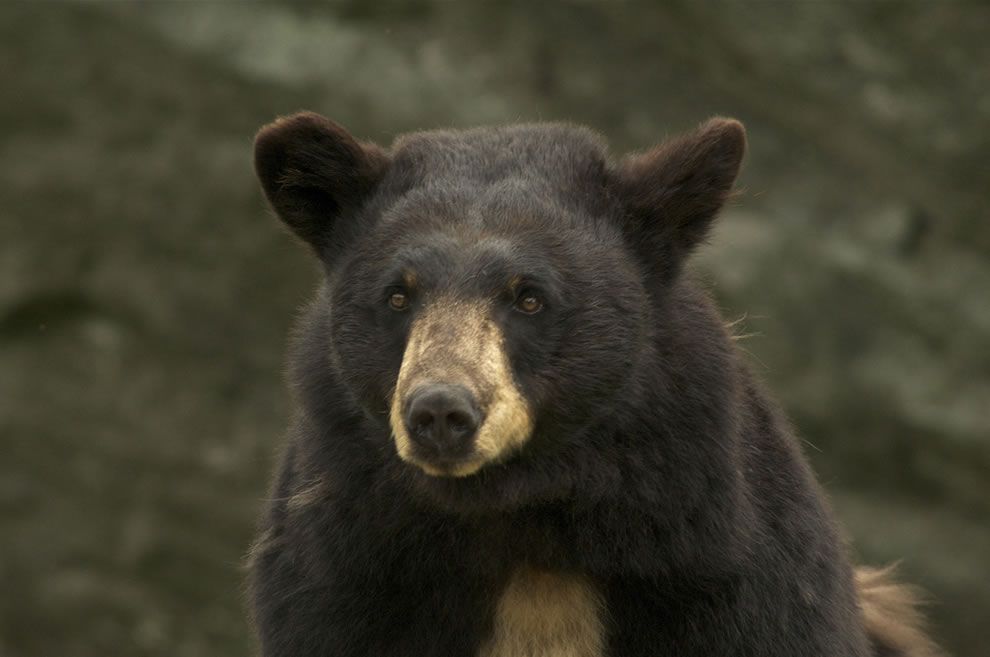 Smoky is a beautiful bear born in 2001 at Grandfather Mountain
