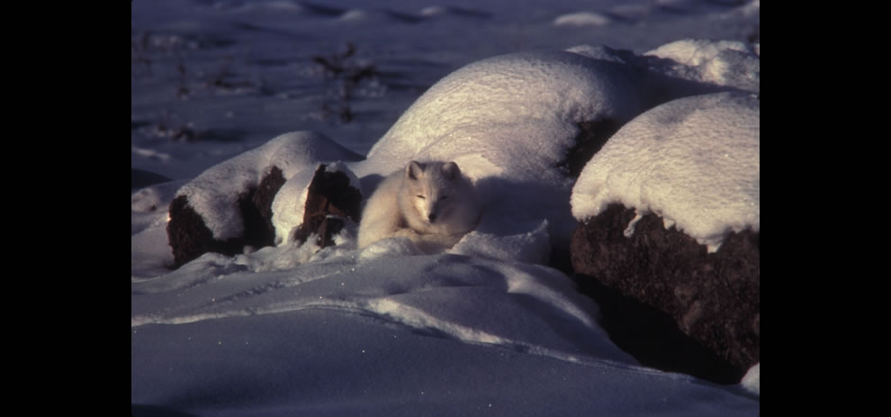 Arctic fox in snow covered landscape