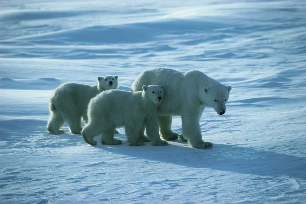 Churchill Polar Bear and Cubs