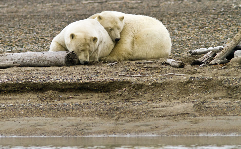 Cuddling polar bears in Kaktovik, Alaska