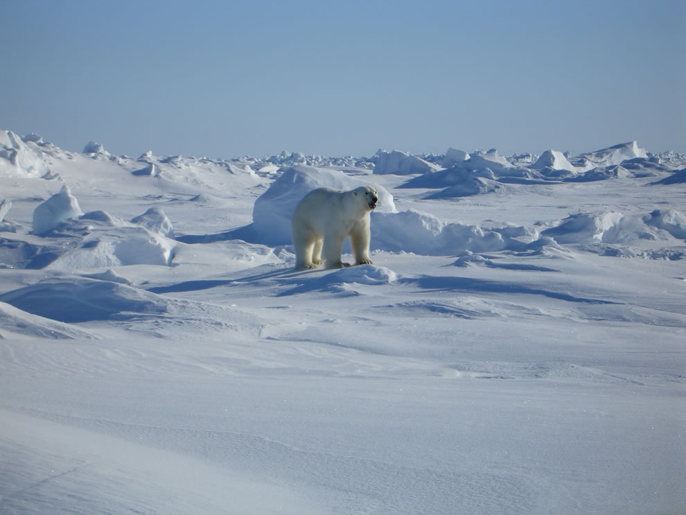 Male polar bear near Kaktovik, Alaska