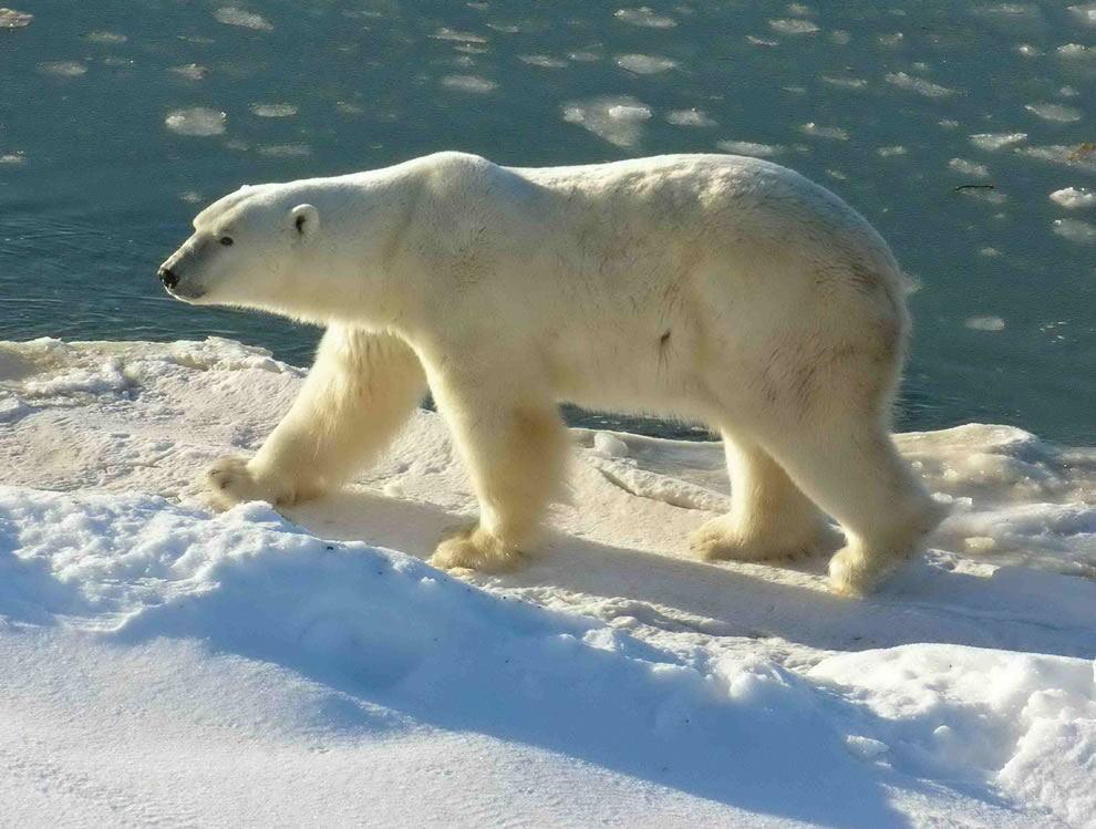 Polar Bear at Cape Churchill (Wapusk National Park, Manitoba, Canada)