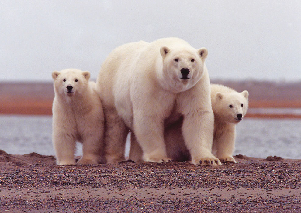 Polar bear female with young