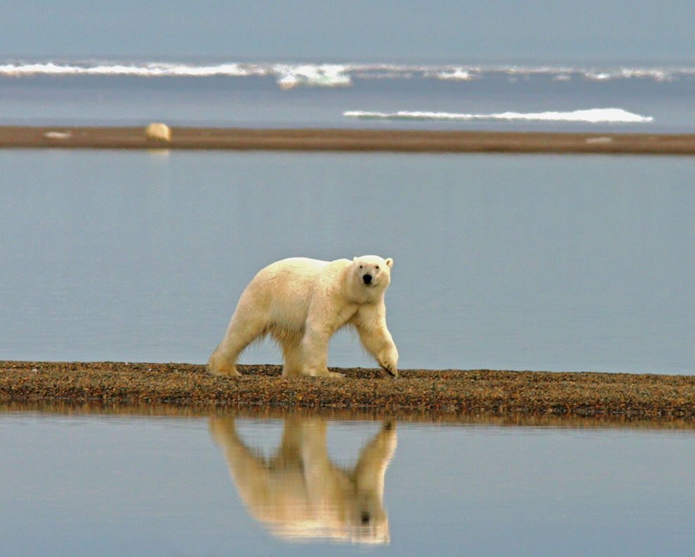 Polar bear walking along the coast
