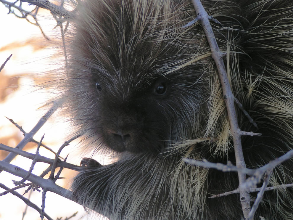 Porcupine sitting in a tree at Theodore Roosevelt NP
