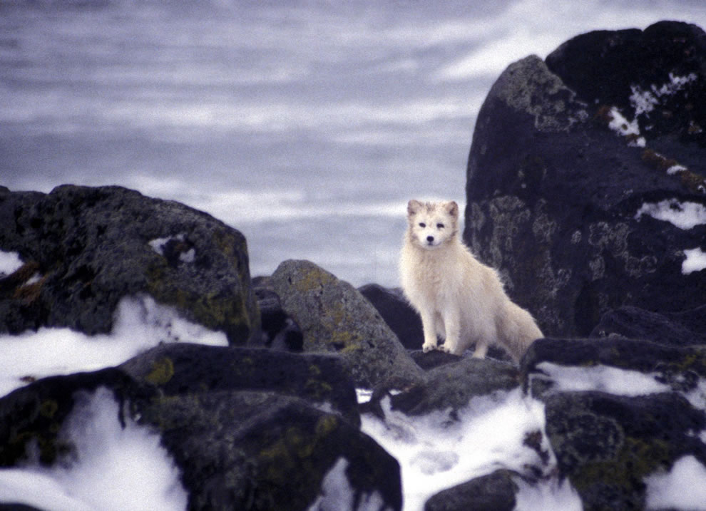 Pribilof Island Oil Spill, Arctic Fox scavenges for carcasses