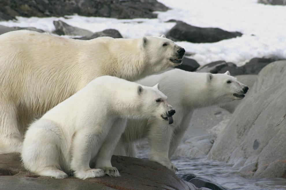 Rude bear, Isispynten, Nordaustlandet