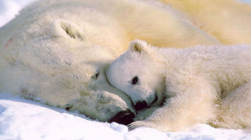 polar bear snuggle love