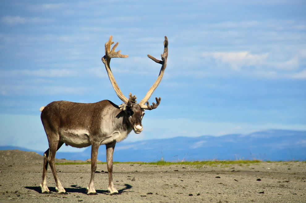 reindeer vacationing in Finnmark in the summer