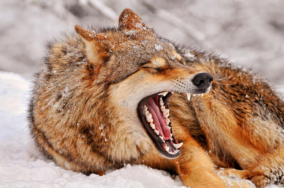 Big wolf yawn