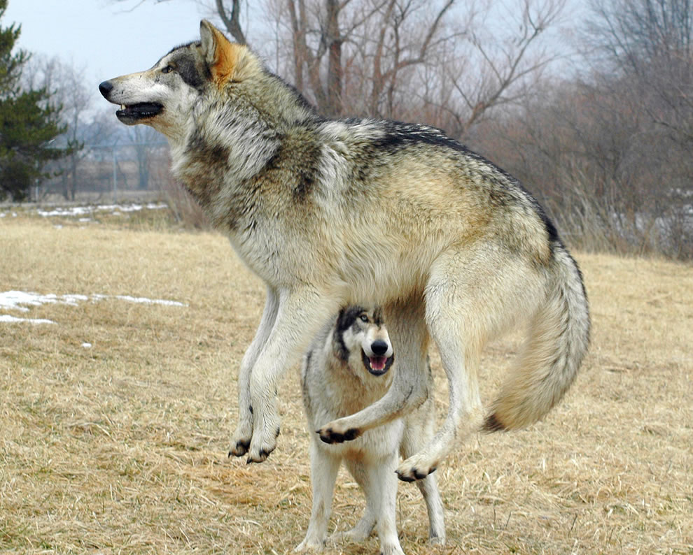 Leaping wolf