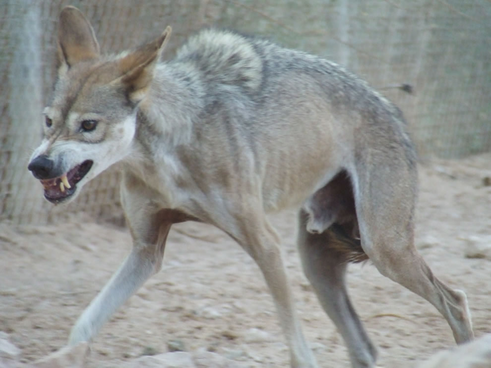 An Arabian wolf in a defensive posture