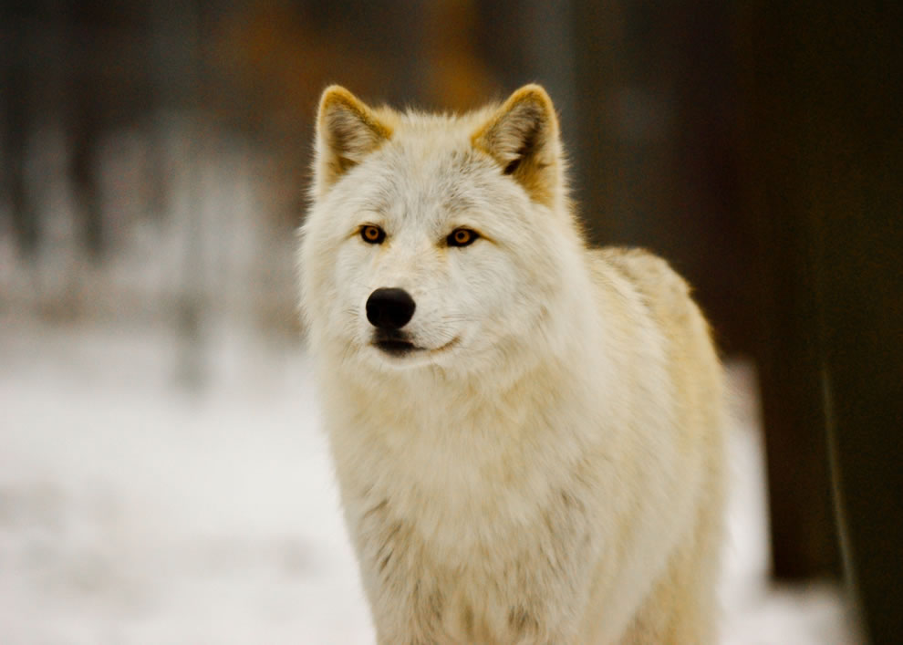 Arctic Wolf at Lakota Wolf Preserve, Columbia , NJ USA