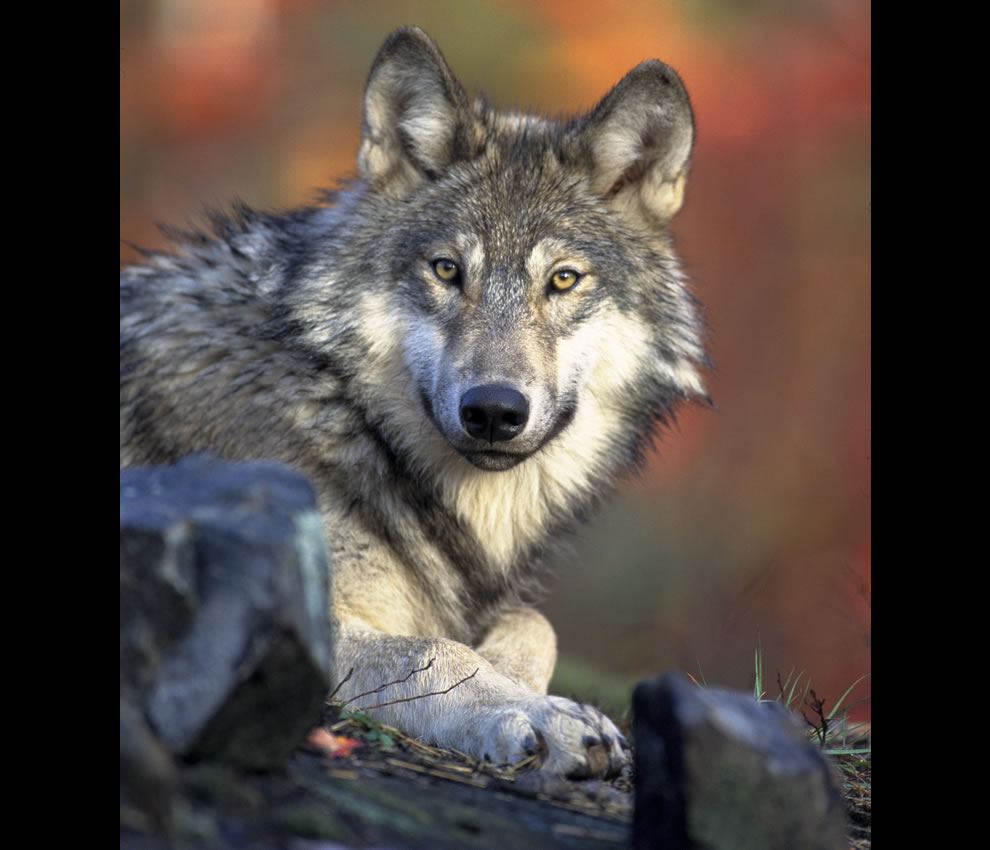 Canis lupus -- Gray wolf laying