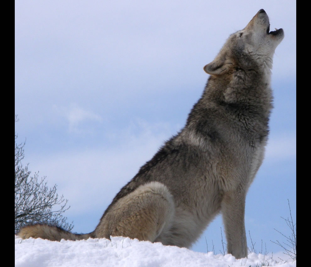 Dakota, a grey wolf at the UK Wolf Conservation Trust, howling on top of a snowy hill