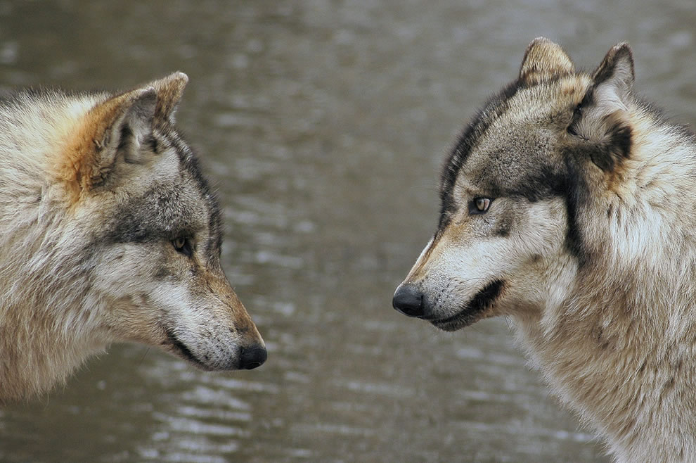 Face to Face Lycans about to fight?