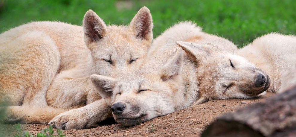 Pile o'wolves, three arctic wolves pups