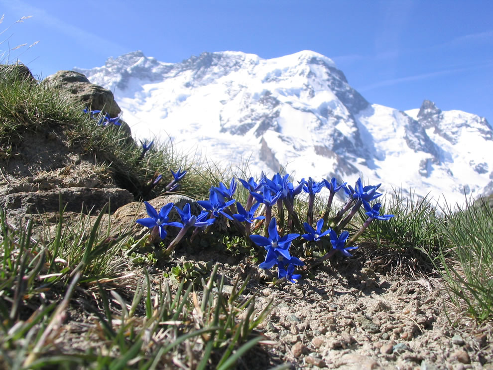 Signs of life, of winter ending and spring approaching. Mountain Breithorn (4164 m, Swiss Alps) with gentian (Gentiana brachyphylla) in the foreground