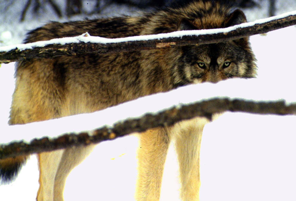 The predator -- Wolf eyes