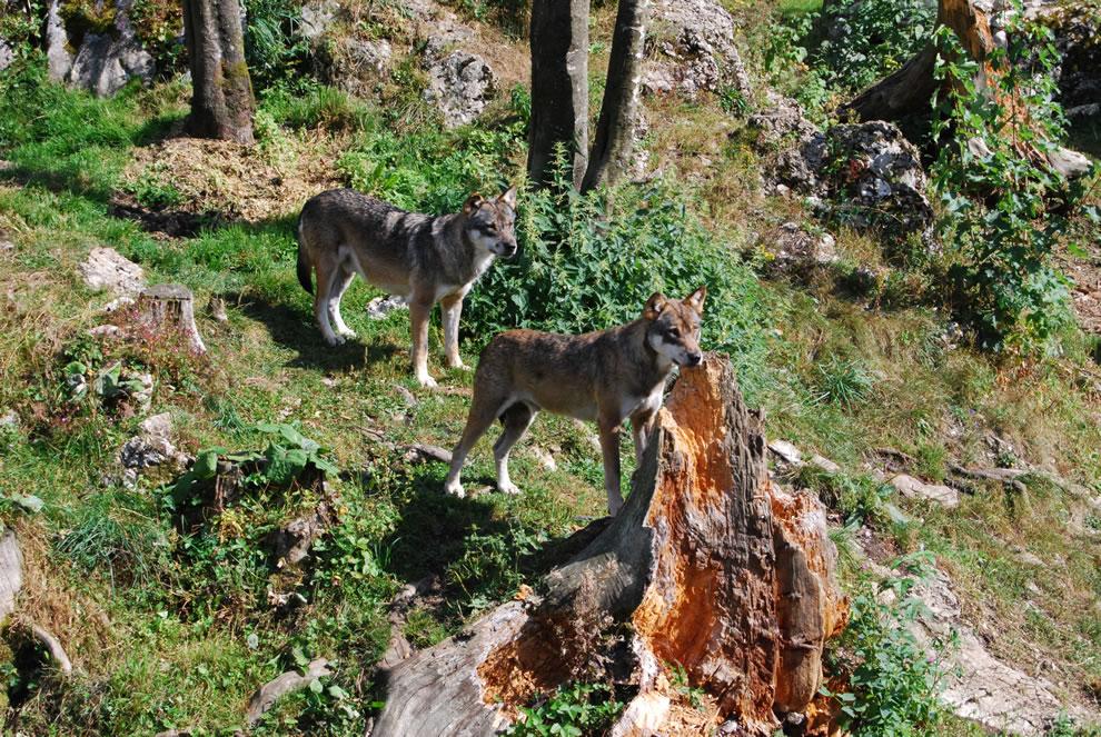 Wolf (Canis lupus) in Juraparc, Vallorbe, Vaud, Switzerland