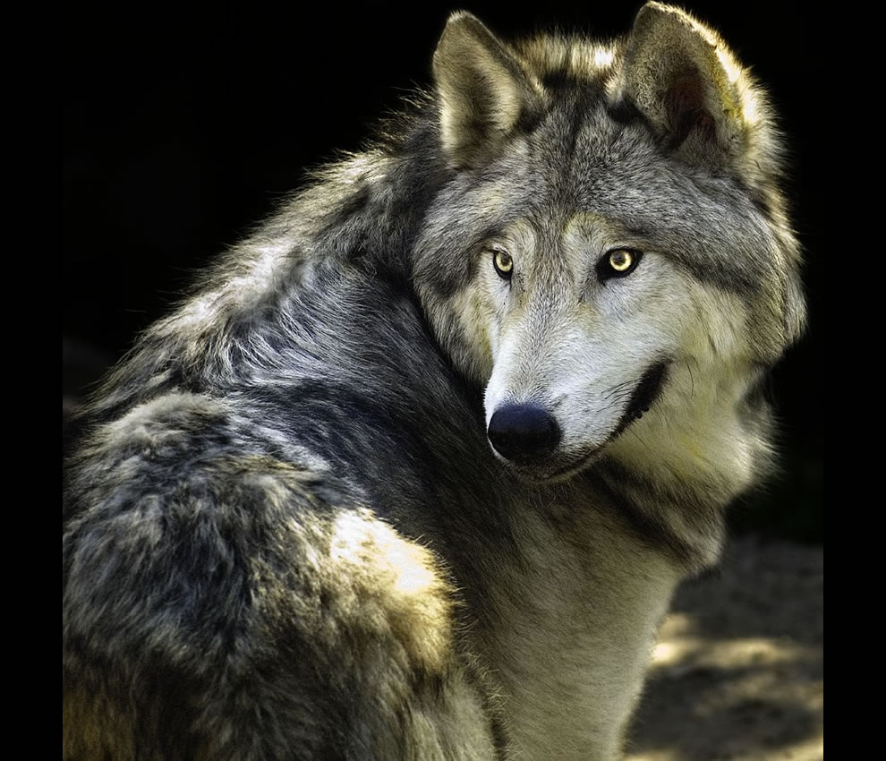 Wolf as seen at Castel Rigone, Umbria, Italy