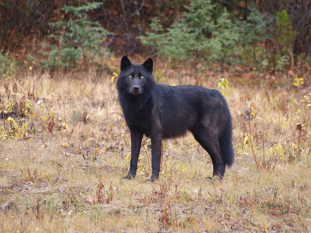 Black wolf in Lower Post Indian Reserve, British Columbia, CA