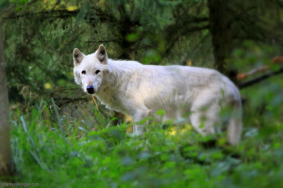 white wolf in the wild