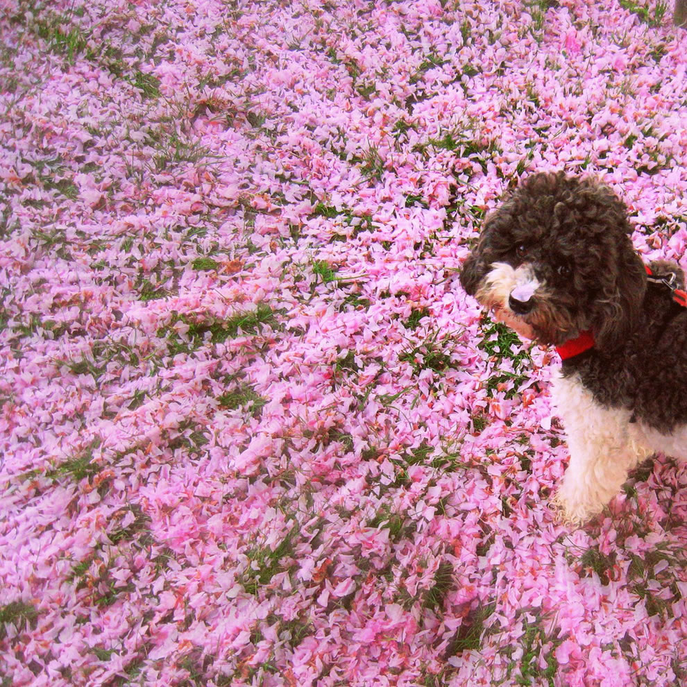 Beautiful cherry blossom mess and petal on pup's nose