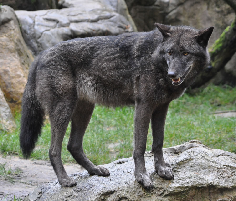 Eastern-Wolf-Canis-lupus-lycaon-in-the-Lüneburg-Heath-wildlife-park-Germany
