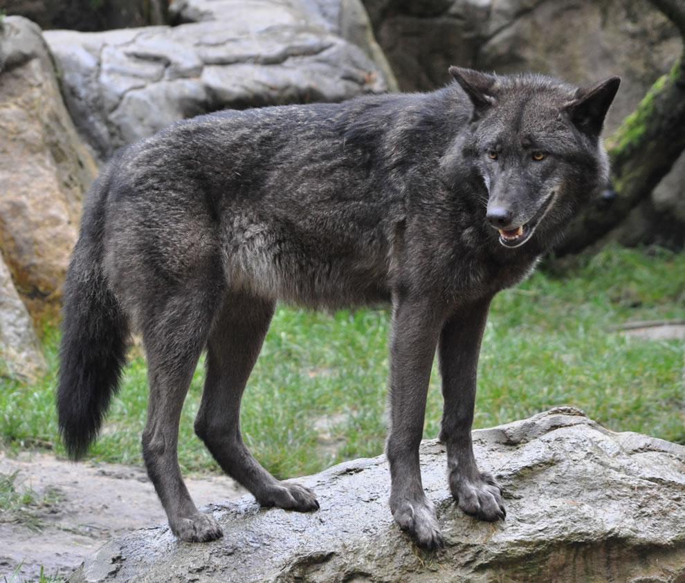 Eastern-Wolf-Canis-lupus-lycaon-in-the-Lüneburg-Heath-wildlife-park-Germany