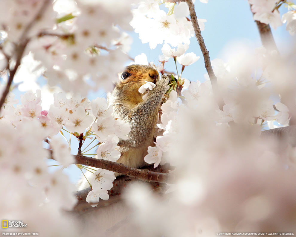 Cherry Blossom Festival time -- Squirrel nibbling on cherry blossoms