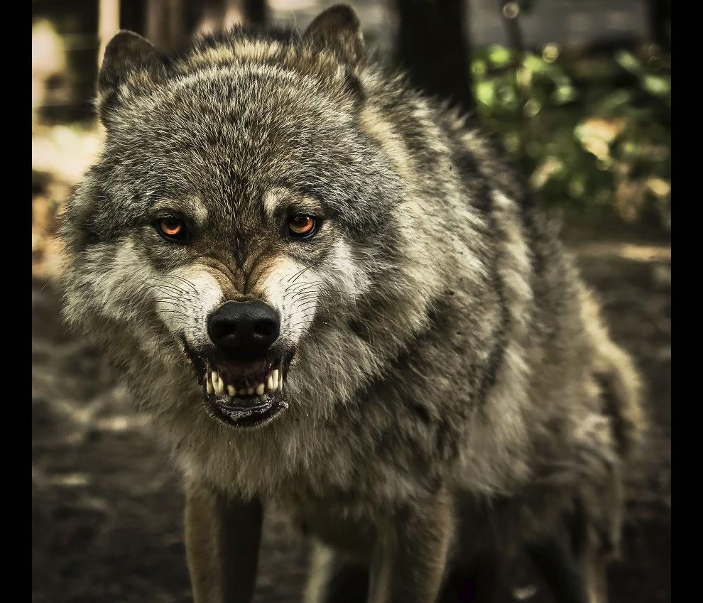 big, bad, beautiful snarling wolf