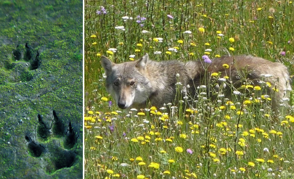 wolf tracks in sand, lone wolf in the wild flowers