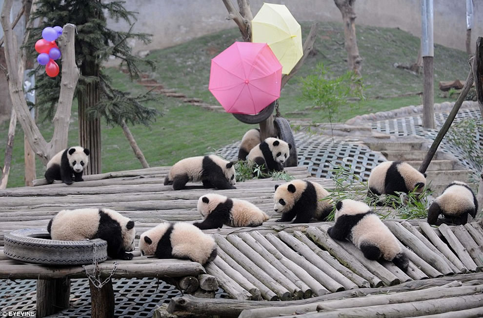 16 pandas Wolong National Nature Reserve
