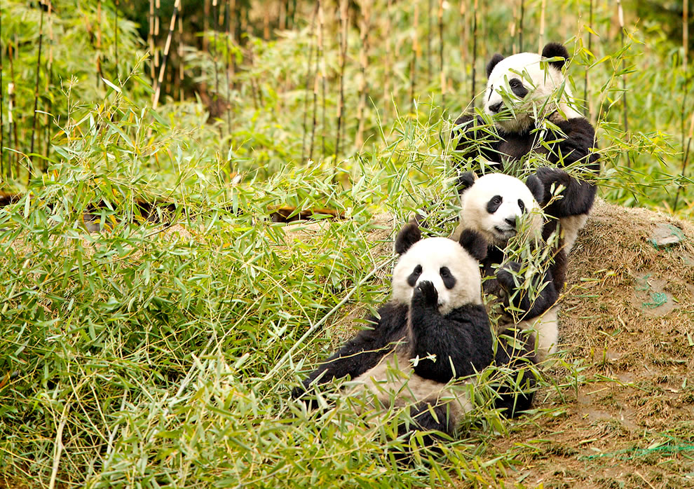 3 giant pandas at Sichuan Giant Panda Sanctuaries