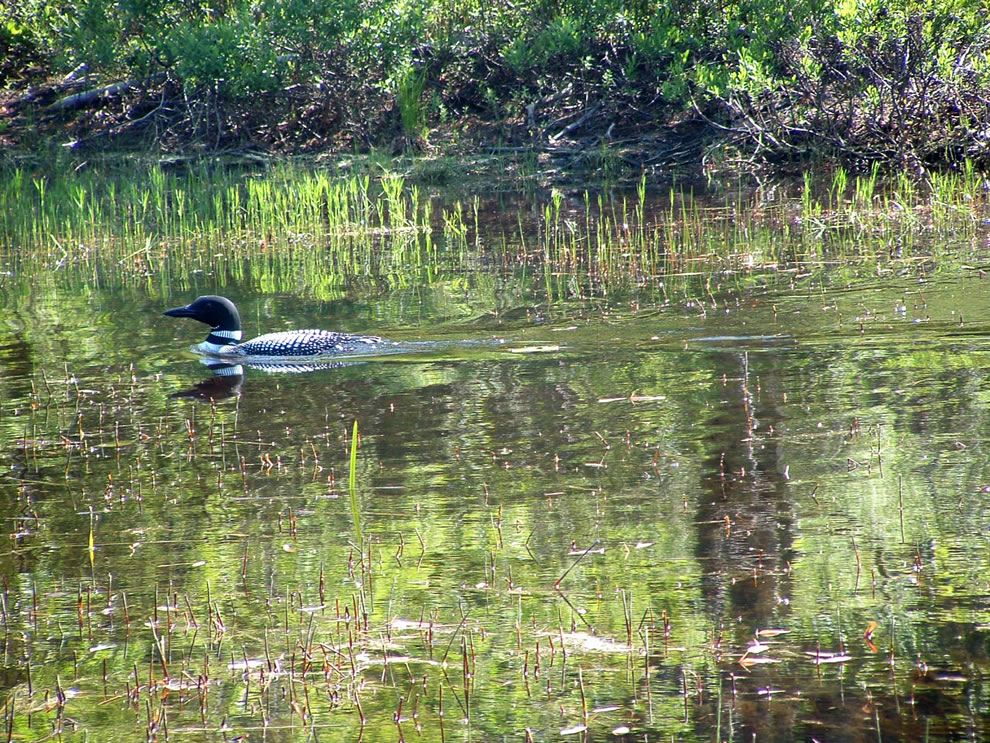 A Loon -- Acadia NP wildlife