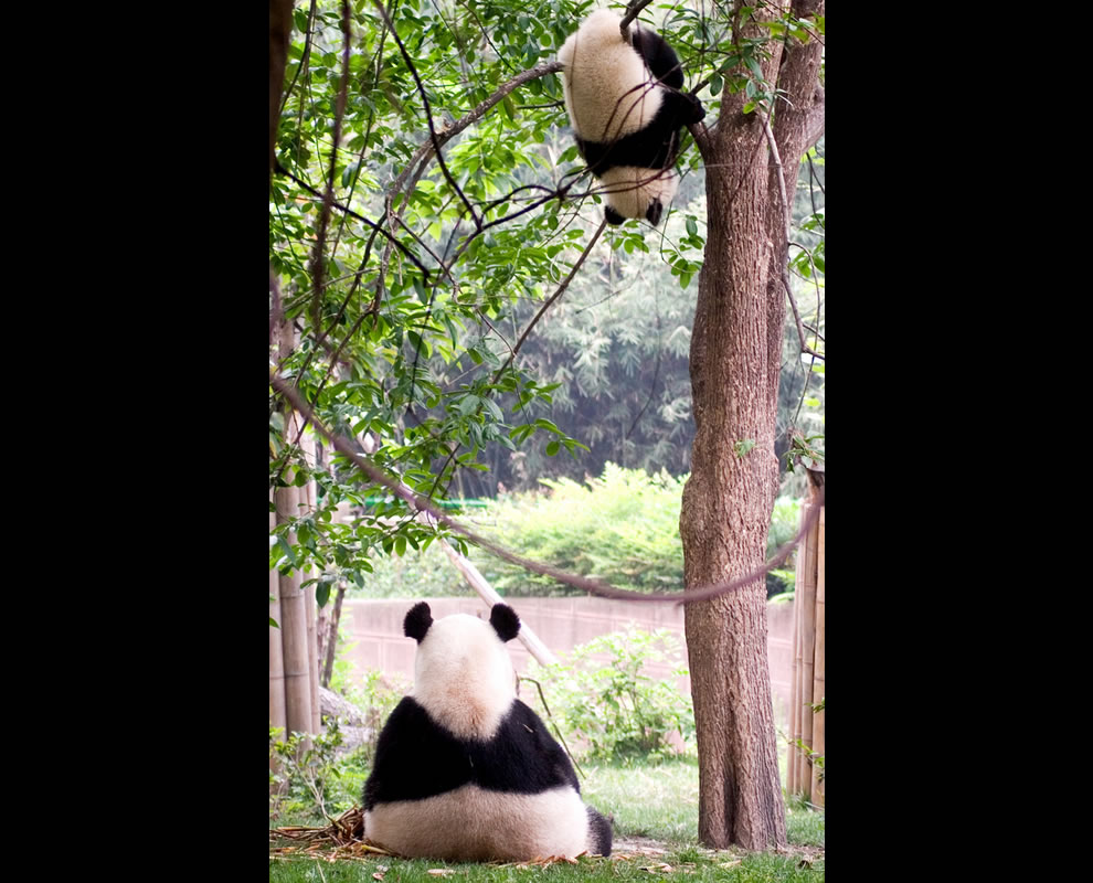 A different take on the world, giant pandas at sanctuary