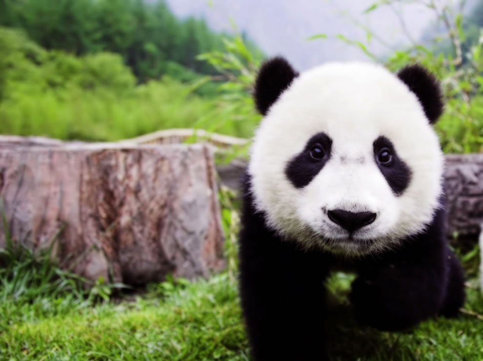 Baby giant panda cub