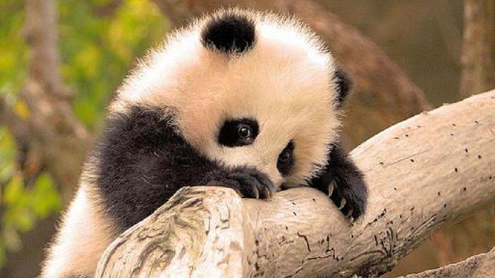 Baby panda, giant bucket of cute