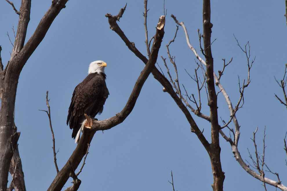 Bald Eagle at Cuyhoga Valley National Park