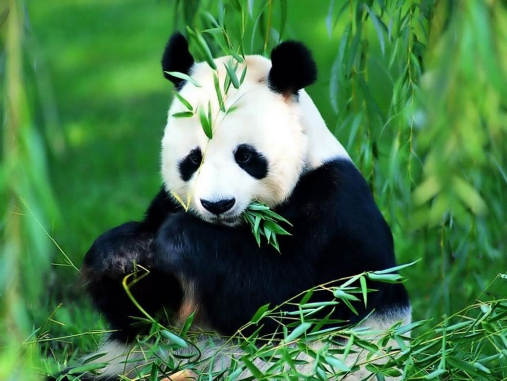 Bamboo lunch time for giant panda at Wolong National Nature Reserve